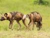 Mkuze Wild dog (15)
