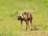Mkuze Wild dog (16)