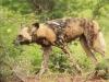 Mkuze Wild dog (19)