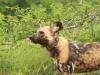 Mkuze Wild dog (20)
