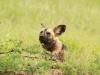 Mkuze Wild dog (21)