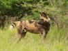 Mkuze Wild dog (41)