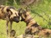 Mkuze Wild dog (44)