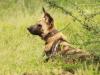 Mkuze Wild dog (52)