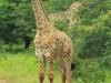 Mkuze giraffe (3)
