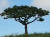 Mkuze trees (1)