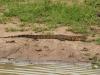Mkuze water monotor (1)