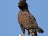 Ukuthula - Long  Crested eagle (1)