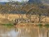 Ukuthula -  Zebra at dam (2)