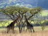 Ukuthula - giraffe (3)