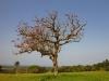 Mtunzini Coral Tree (2)
