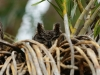 Ndumo Game Reserve eagle owl (2)