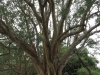 Ndumo Game Reserve fig  & fever tree forest (13)