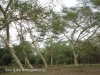 Ndumo Game Reserve fig  & fever tree forest (15)