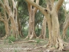 Ndumo Game Reserve fig  & fever tree forest (17)