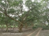 Ndumo Game Reserve fig  & fever tree forest (21)