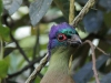 New Germany Nature Reserve - Aviary - Purple crested lowrie (11)