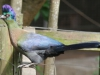 New Germany Nature Reserve - Aviary - Purple crested lowrie (8)