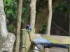 New Germany Nature Reserve - Aviary - Purple crested lowrie (9)