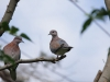 New Germany Nature Reserve - Aviary - doves (1)