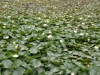 New Germany Nature Reserve - Trails - Dam water lillies (2)
