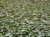 New Germany Nature Reserve - Trails - Dam water lillies (4)