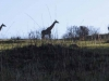 Lake Eland Giraffe (1)