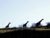 Lake Eland Giraffe (4)