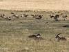 Lake Eland Reserve eland in grasslands (2)