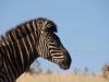 Lake Eland Zebra