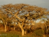 Ottos Bluff - Ukhutula - Acacia Sieberiana (3)
