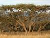 Ottos Bluff - Ukhutula - Acacia Sieberiana (4)