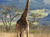 Ottos Bluff - Ukhutula - Giraffe