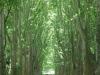pmb-swartkops-road-kzn-botanic-gardens-plain-trees-planted-1908-1