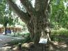 pmb-swartkops-road-kzn-botanic-gardens-plain-trees-planted-1908-4