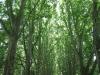 pmb-swartkops-road-kzn-botanic-gardens-plain-trees-planted-1908-6