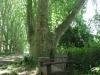pmb-swartkops-road-kzn-botanic-gardens-plain-trees-planted-1908-7