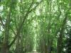 pmb-swartkops-road-kzn-botanic-gardens-plain-trees-planted-1908-8