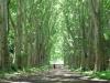 pmb-swartkops-road-kzn-botanic-gardens-plain-trees-planted-1908-9