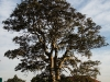 Maris Stella - garden tree