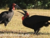 Rorkes Drift Lodge Ground Hornbill (2)