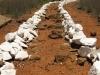 spionkop-mass-graves-british-soldiers-3