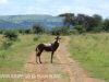Spionkop Nature Reserve Blesbok