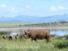 Spionkop Nature Reserve White Rhino (13)