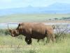 Spionkop Nature Reserve White Rhino (7)