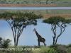 Spionkop Nature Reserve dam giraffe (1)