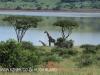 Spionkop Nature Reserve dam giraffe (5)