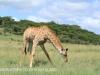 Spionkop Nature Reserve giraffe (13)