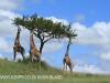 Spionkop Nature Reserve giraffe (24)
