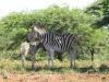 Spionkop Nature Reserve zebra (2)
